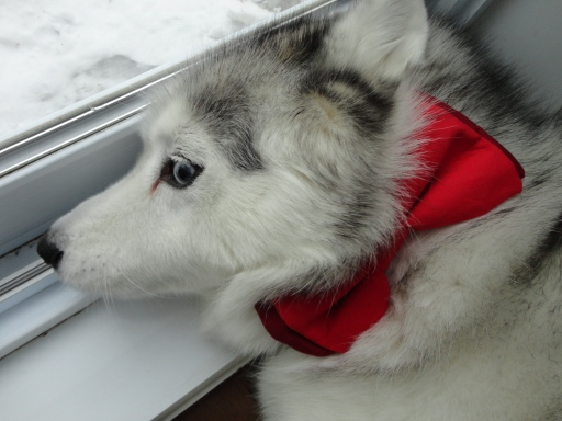 Kaya: Siberian Husky with red bow tie