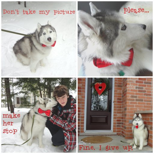Husky Happy Valentine's Day